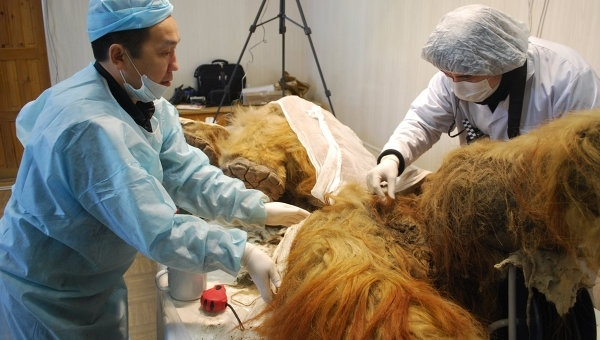 Descubren células vivas de un Mamut al este de Rusia 13