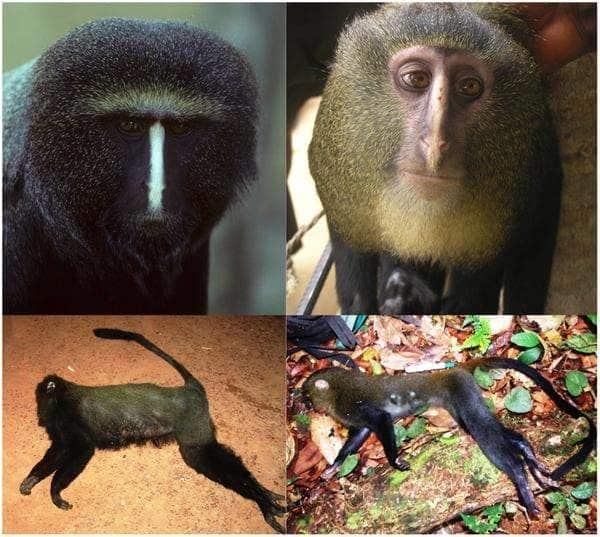Lesula nueva especie de mono descubierta en el Congo