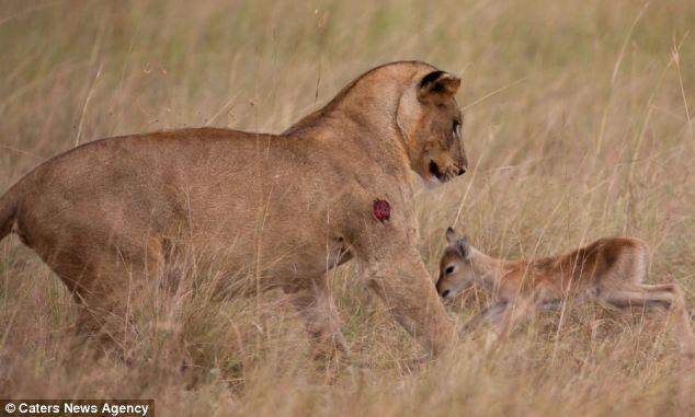 e5b926b1555590a9be69cc6576b3b7df - Una leona adopta a un bebé antílope