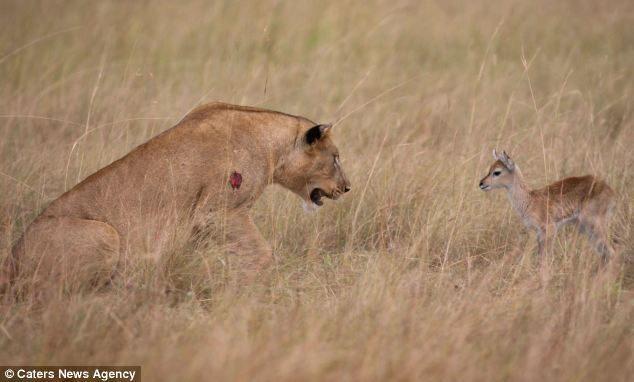 leona adopta a un antílope bebé