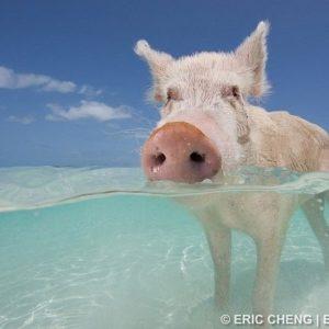 Los cerdos nadadores de Bahamas 2