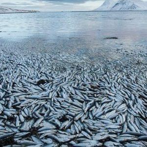 Millones de peces aparecen muertos en un fiordo islandés por causas desconocidas 31