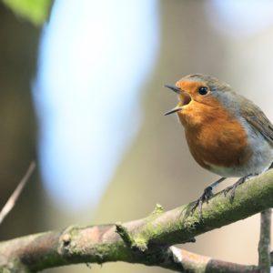 Surge nueva teoría sobre la evolución del lenguaje humano: provendría del canto de los pájaros 27