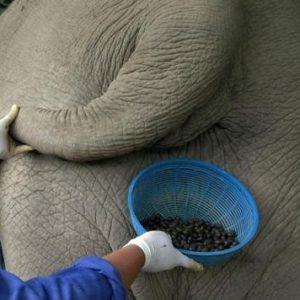 El café mas caro del mundo es de caca de Elefante 26