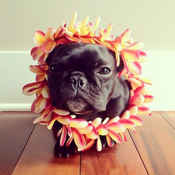 Trotter el bulldog francés mas gracioso de Instagram