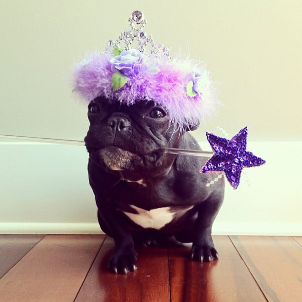 ▷ Trotter el bulldog frances mas gracioso de Instagram ? 14
