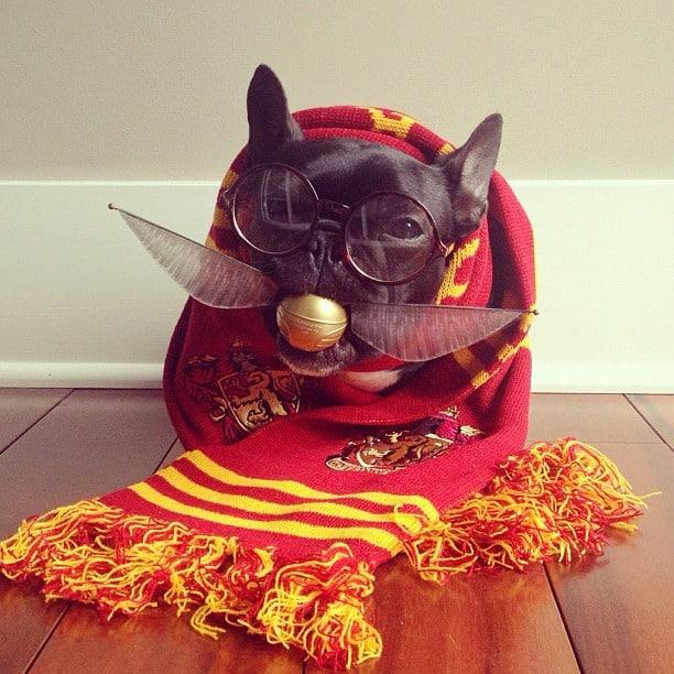 ▷ Trotter el bulldog frances mas gracioso de Instagram ? 16