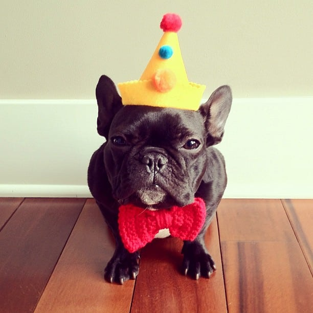 ▷ Trotter el bulldog frances mas gracioso de Instagram ? 17