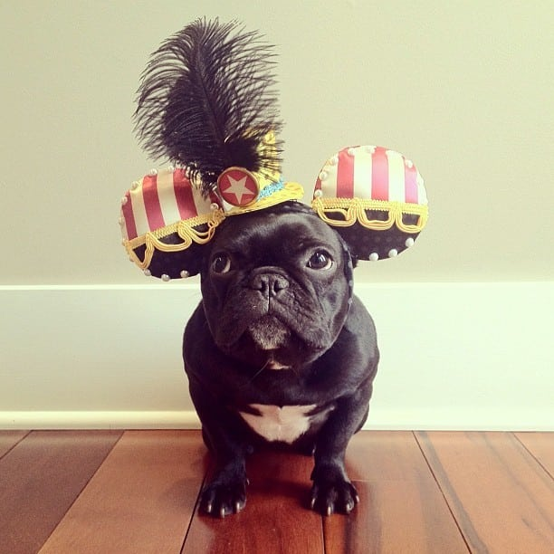 ▷ Trotter el bulldog frances mas gracioso de Instagram ? 19