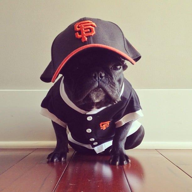 ▷ Trotter el bulldog frances mas gracioso de Instagram ? 25