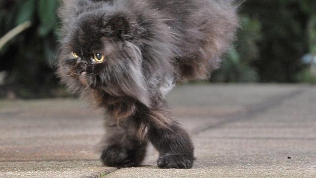 #Video Caffrey, un gato que sabe andar solo con las patas derechas 2