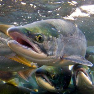 Campos geomagnéticos ayudan a los salmones a volver al río en que nacieron 24