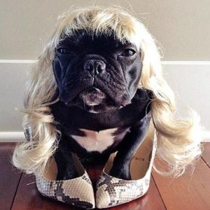 ▷ Trotter el bulldog frances mas gracioso de Instagram 😍 27