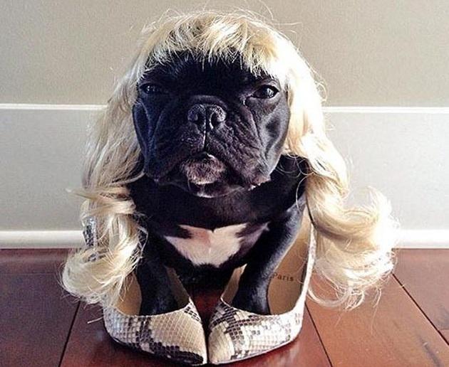 ▷ Trotter el bulldog frances mas gracioso de Instagram ? 2