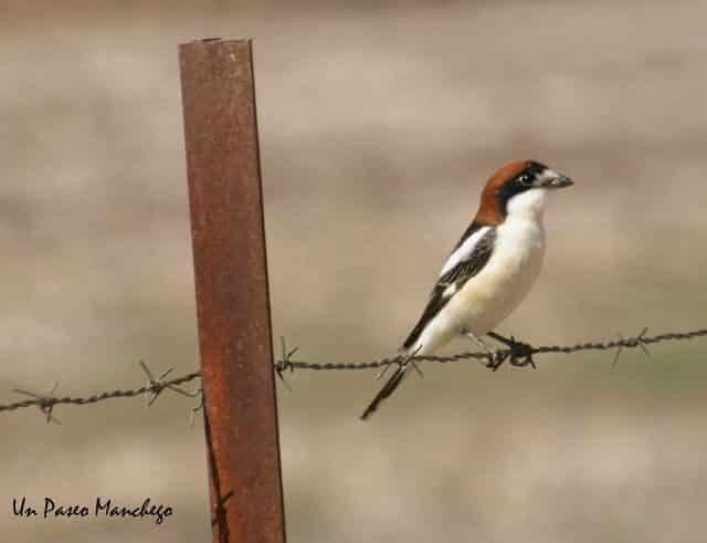 Noticias Curiosas - Pájaro posado en un Alambre de espinos