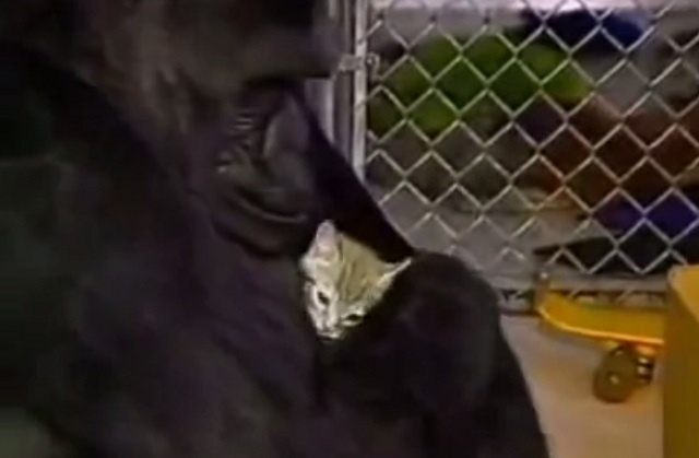 #Video Gorila llora al enterarse de la muerte de su gatito 2
