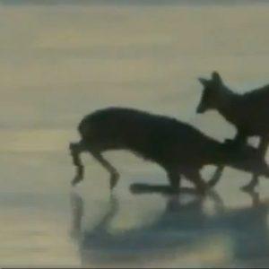 #Video Un helicóptero salva a un ciervo con el aire de sus palas como un efecto ventilador 24