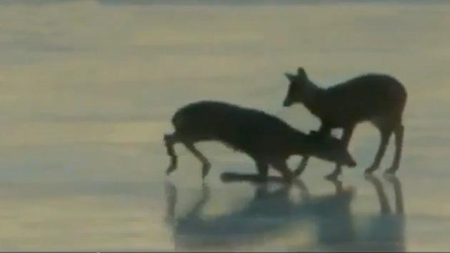 #Video Un helicóptero salva a un ciervo con el aire de sus palas como un efecto ventilador 19