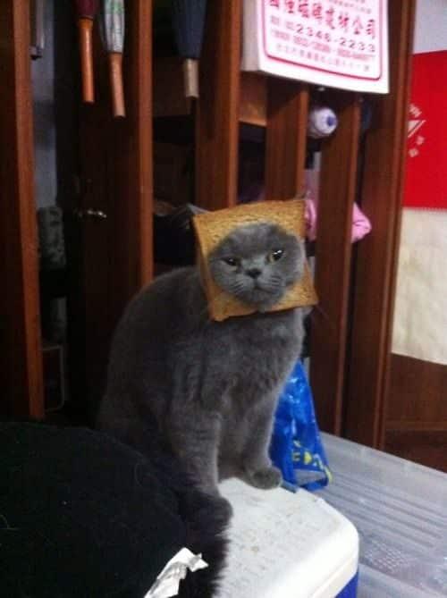 La moda de los Gatos Tostada 36