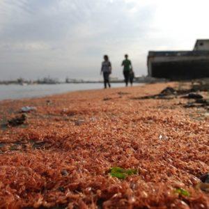 #Video Miles de camarones muertos aparecen en una playa chilena 24
