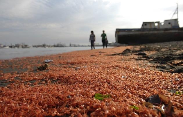 #Video Miles de camarones muertos aparecen en una playa chilena 2
