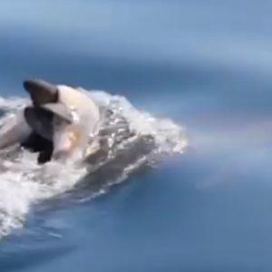 Funeral de delfín bebé 25