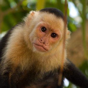 Monos capuchinos pueden identificar a los humanos egoístas 3