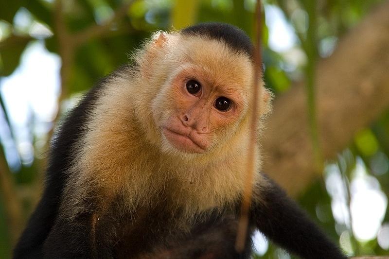 Monos capuchinos pueden identificar a los humanos egoístas 11