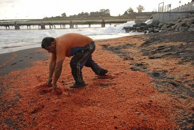 #Video Miles de camarones muertos aparecen en una playa chilena 15