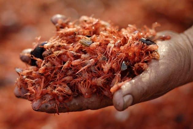 #Video Miles de camarones muertos aparecen en una playa chilena 16