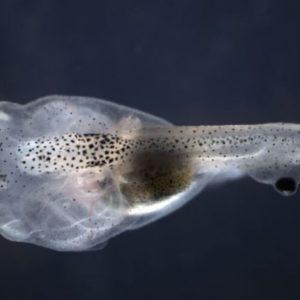 Ojos injertados en cola de renacuajos pueden ser clave para la cura de la ceguera 26