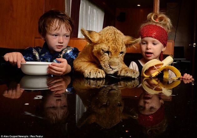 """En vez de un """"lindo gatito"""", la mascota de estos niños es un león cachorro 16"""