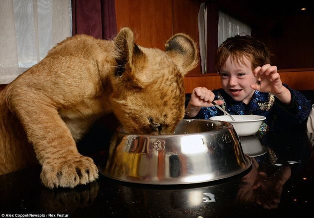 """En vez de un """"lindo gatito"""", la mascota de estos niños es un león cachorro 17"""