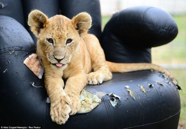 """En vez de un """"lindo gatito"""", la mascota de estos niños es un león cachorro 20"""