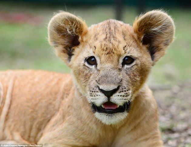 """En vez de un """"lindo gatito"""", la mascota de estos niños es un león cachorro 22"""