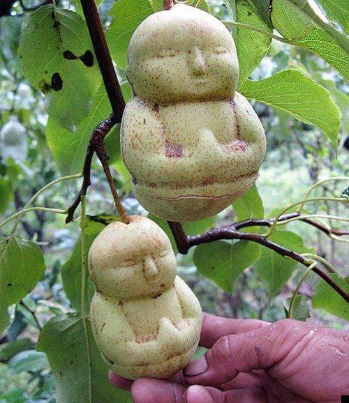 Hace crecer las peras con forma de Buda 17
