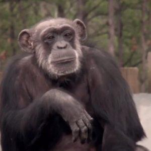 #Video Un grupo de chimpancés liberados del laboratorio ve el cielo por primera vez en su vida 25