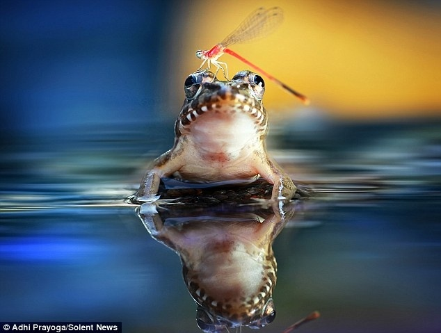 Mira la peculiar amistad de una rana y una libélula 2