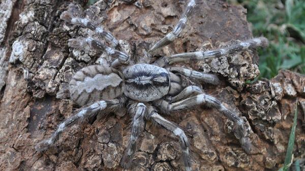 Descubren una araña venenosa de 20 centímetros 2