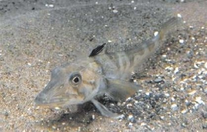 Tokio presenta pez con sangre transparente único en el mundo 25