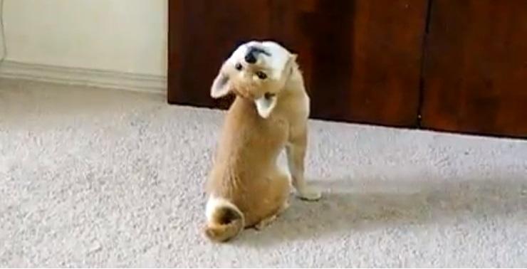 b6120c313ac48a77675d5f5655b43f41 - Shiba: el perro flexible
