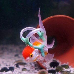 Un chaleco salvavidas para Einstein, el pez de colores que no puede flotar 8