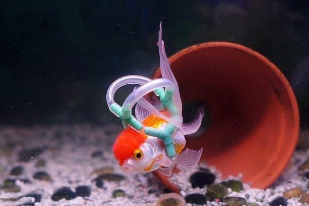 ba66e3b354692e4fcb6a4fb86b7a3c7f - Un chaleco salvavidas para Einstein, el pez de colores que no puede flotar