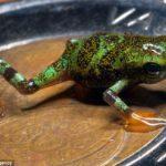 Científicos logran conservar ranas en peligro de extinción que caben en una moneda 8