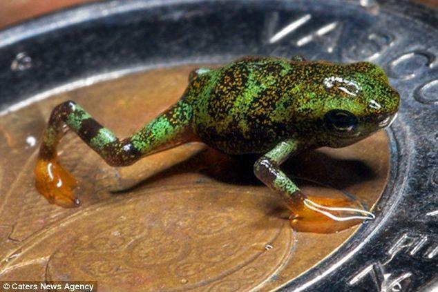 Científicos logran conservar ranas en peligro de extinción que caben en una moneda 12