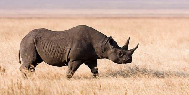 980d2e4261c2191caf564855a42aab3c - Mataron al último rinoceronte negro: otra especie extinguida