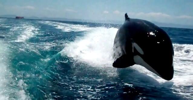 b858dc03bb496ce9776eefb318ee70e6 - #Vídeo Grupo de orcas persiguiendo a una lancha de turistas en La Paz, México