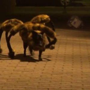 #Video Perro Araña Mutante y Gigante aterroriza Polonia 10