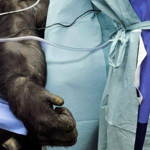 Australia usa primates para hacer estudios médicos al estilo de Frankenstein 26