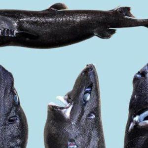 Este es el Tiburón linterna ninja, una nueva especie recién descubierta 22